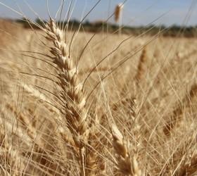 Buğday Tohumculuğu